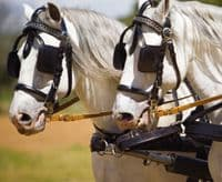 Pairs driving harness with breastplate - type Bremen